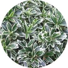 Microphylla Silver